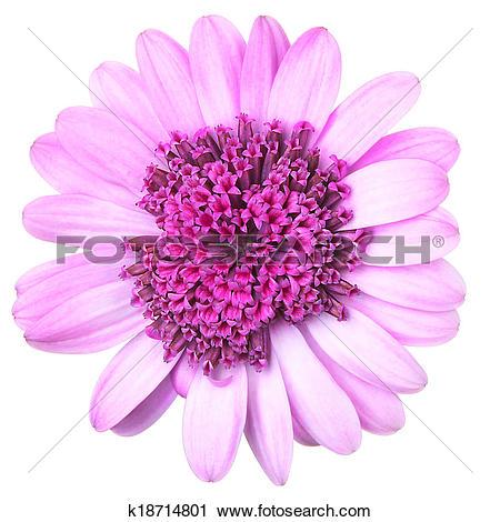Stock Photography of Pink Osteosperumum (Dimorphoteca)Flower Daisy.