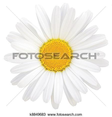 Stock Photo of Oxeye Daisy Leucanthemum vulgare Lam. Isolated.