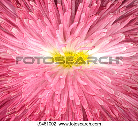Stock Photo of Macro of Pink Daisy Flower with Yellow Center.