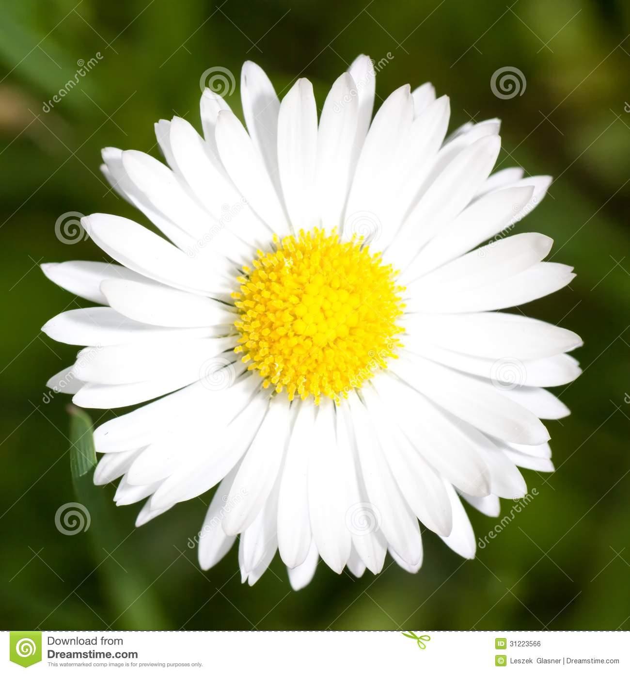 Macro Of Marguerite Daisy Flower Royalty Free Stock Image.