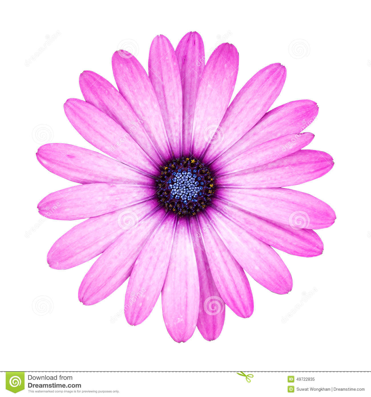 Pink Daisy Flower Isolated On White Background Stock Photo.