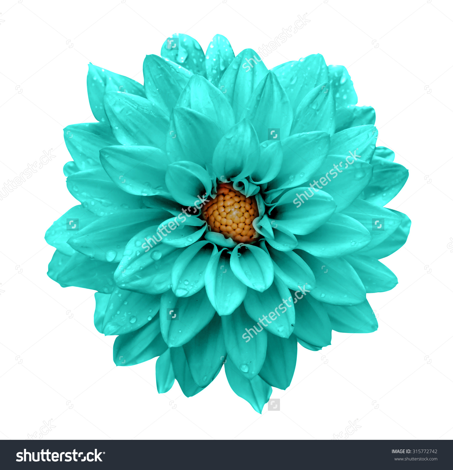 Turquoise Flower Dahlia Macro Isolated On Stock Photo 315772742.