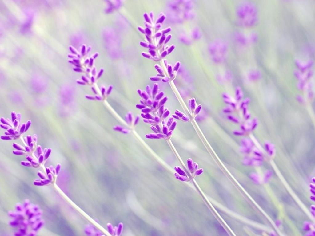 Lavender flower background clipart.
