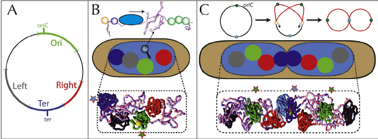 Impact of macrodomains on the segregation of bacterial.