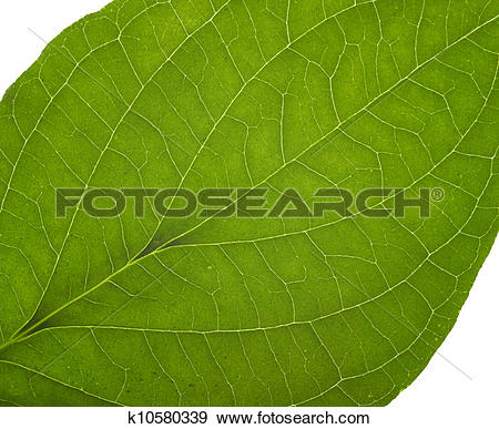 Stock Photograph of green macro leaf k10580339.