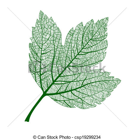 Vectors of Vector leaf isolated. Natural macro leaf..