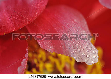 Stock Photograph of Macro photography of pink petaled flower with.