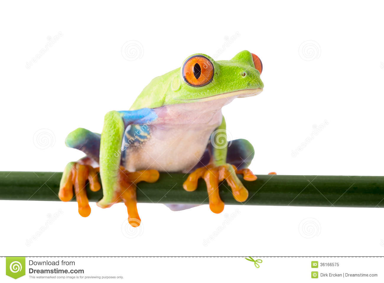 Rainforest Frog Clipart Red Eyed Tree Frog Macro Costa #GVLL26.