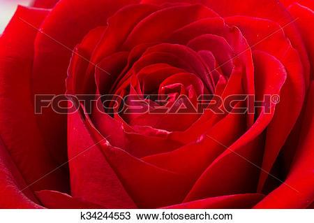 Drawing of Dark red rose in macro scale k34244553.