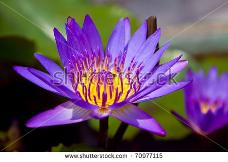 Colorful Purple Water Lily With Bee In Macro Shot, Sriracha.