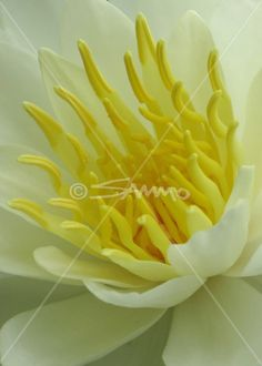 Royalty free photos, Lilies flowers and Free photos on Pinterest.