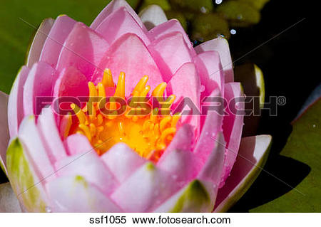 Stock Image of Detailed macro closeup of pink water lily in a pond.