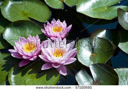 Water Lillies Stock Photos, Royalty.