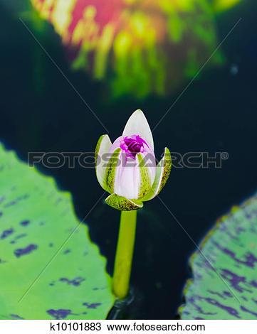 Stock Photo of Macro of beautiful young lotus k10101883.