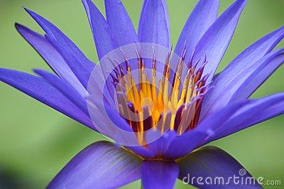 Purple Water Lily Macro Royalty Free Stock Image.