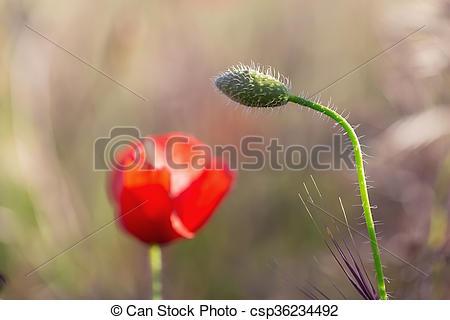 Stock Photographs of Poppy bud bent to flower. Macro spring.