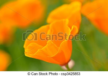 Stock Photos of California Spring Poppy Macro Close Up with Green.