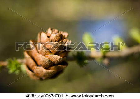Stock Photo of Macro of Larch needles and cone during Spring.