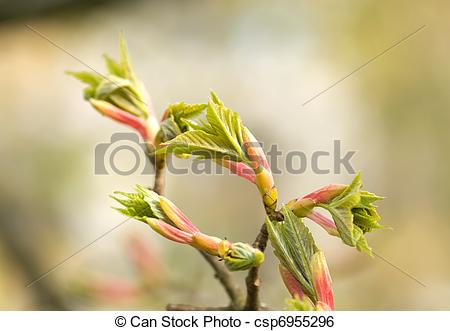 Stock Image of maple tree branch with spring buds and young leaves.