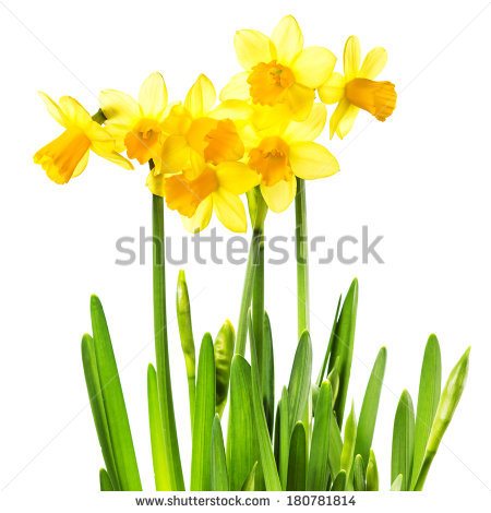 Narcissus Flower Stock Photos, Royalty.