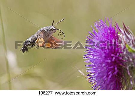 Picture of Hummingbird Hawkmoth (Macroglossum stellatarum.