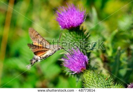 Hawk Moth Stock Photos, Royalty.