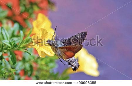 Hummingbird Moths Stock Photos, Royalty.