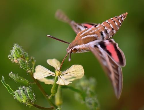 1000+ ideas about Hawk Moth on Pinterest.