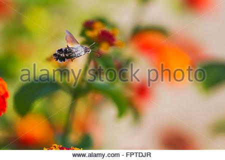 Hawk Moths Stock Photos & Hawk Moths Stock Images.