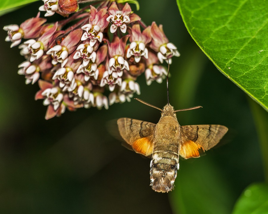 Free photo: Macroglossum Stellatarum Porcellus.