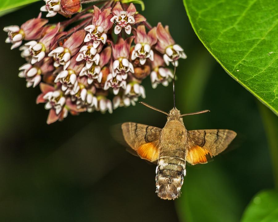 Free photo: Macroglossum Stellatarum Porcellus.