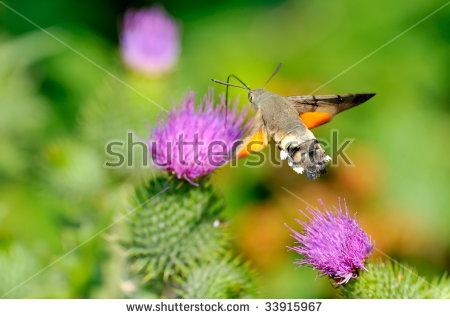 "hummingbird Moths"" Stock Photos, Royalty."