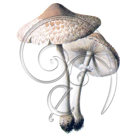 Vintage Mushroom Macrolepiota excoriata (free download) » Freebies.