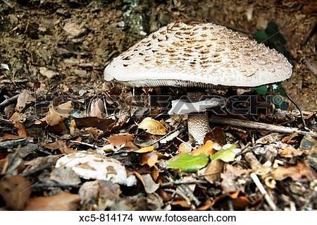 Stock Photo of Parasol Mushroom Macrolepiota procera Collserola.