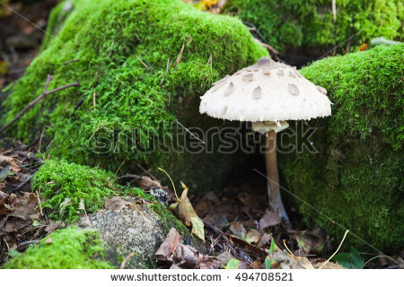 Macrolepiota Procera Stock Photos, Royalty.