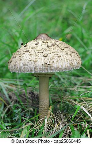 Stock Photo of Parasol mushroom (latin: Macrolepiota procera.