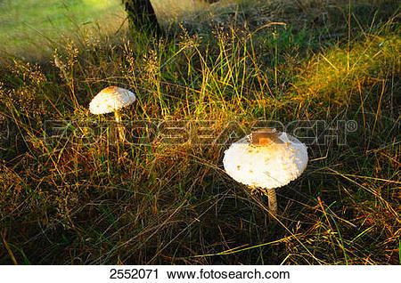 Stock Photography of Parasol mushrooms (Macrolepiota procera.