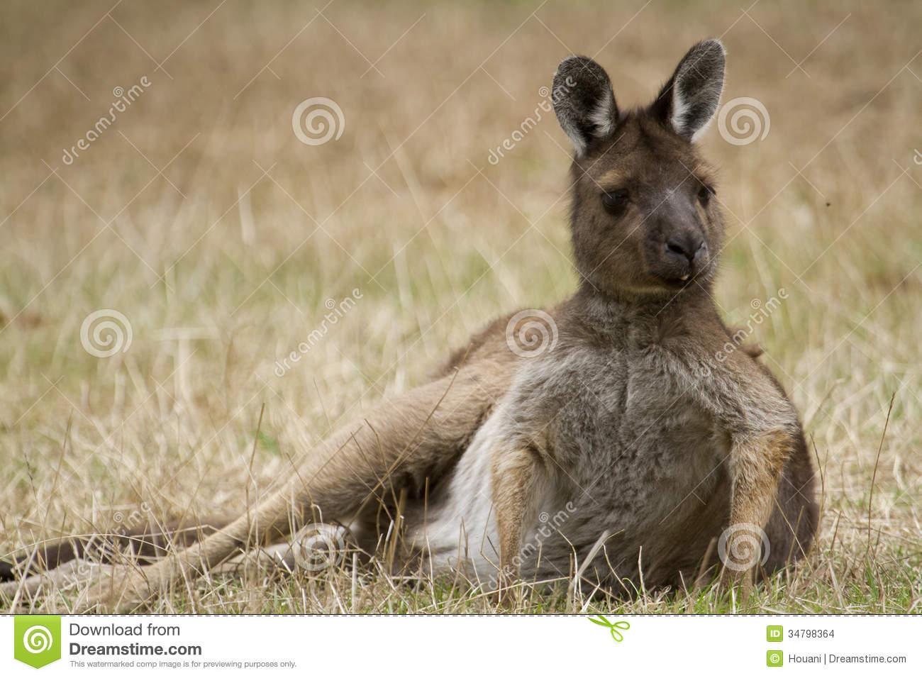 Eastern Grey Kangaroo (Macropus Giganteus) Stock Images.