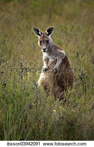 """Stock Photography of """"Eastern Grey Kangaroo (Macropus giganteus."""