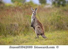 Macropodidae Stock Photo Images. 424 macropodidae royalty free.