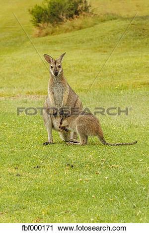 Stock Photography of Australia, Hawks Nest, kangoroos (Macropus.