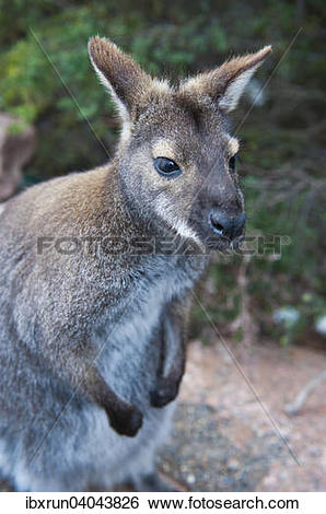 Stock Images of Bennetts Wallaby (Macropus rufogriseus), Tasman.