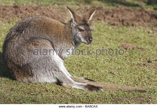 Wallaby Lying Stock Photos & Wallaby Lying Stock Images.