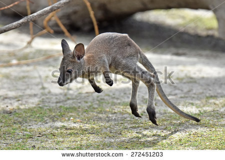 Wallaby Stock Images, Royalty.