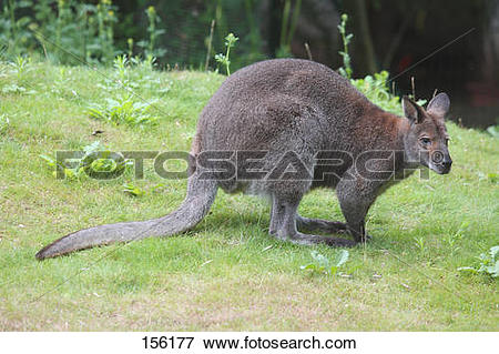 Picture of Bennett's Wallaby.