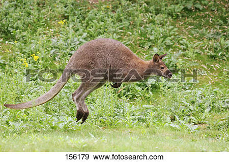 Stock Photograph of Bennett's Wallaby.