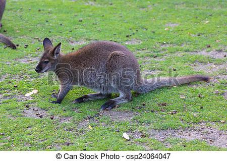 Stock Photo of Wallaby de Bennet (Macropus rufogriseus.