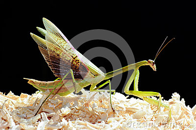 Black Grasshopper Stock Images.