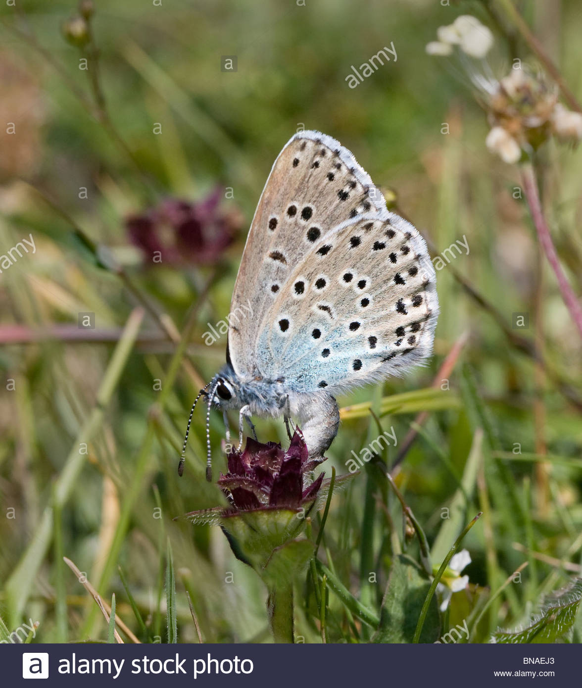 Large Blue Butterfly Maculinea Arion Female Ovipositing On.