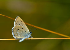 Phengaris ( Maculinea ) Alcon / Alcon Blue Butterfly Royalty Free.